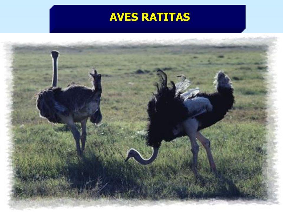 AVES RATITAS