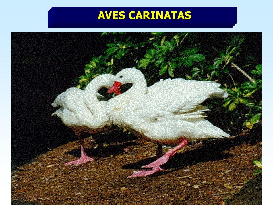 AVES CARINATAS