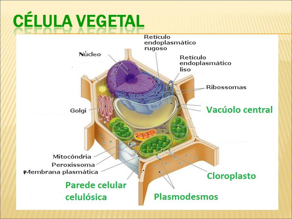IMPORTANTE: A CÉLULA VEGETAL POSSUI PAREDE CELULAR E CLOROPLASTOS.