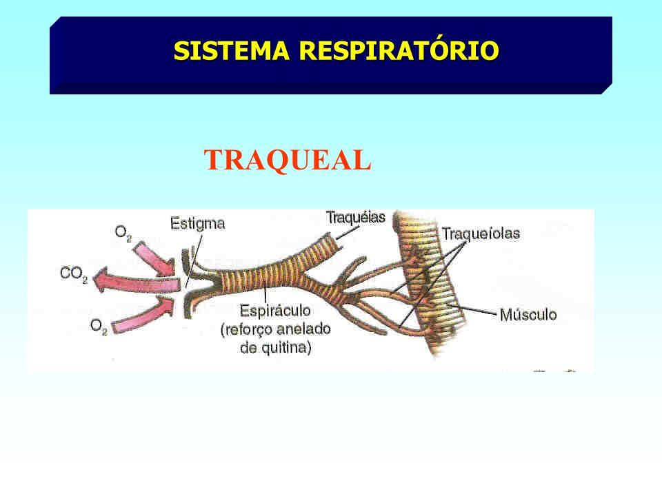 SISTEMA CIRCULATÓRIO Aberto Coração dorsal Sangue sem pigmentos respiratórios óstio Coração