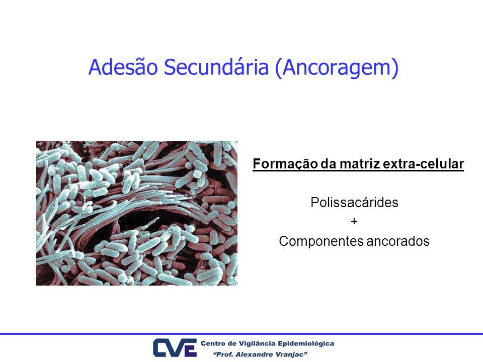 Adesão Secundária (Ancoragem) Formação da matriz extra-celular Polissacárides + Componentes ancorados