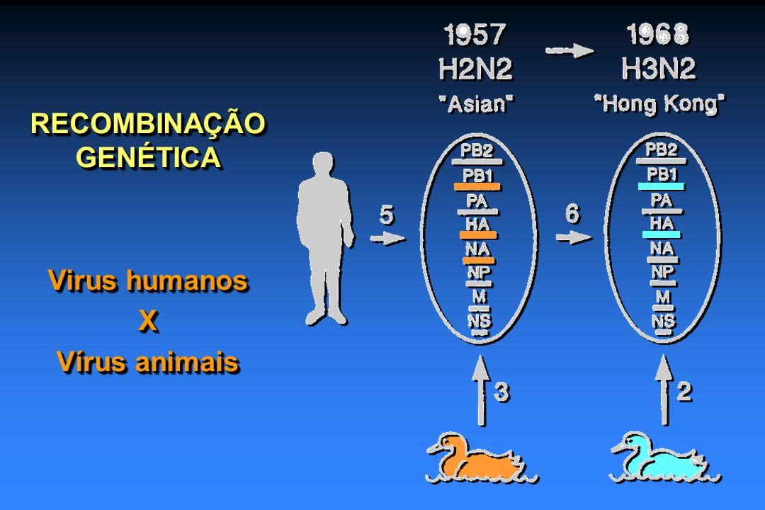 RECOMBINAÇÃO GENÉTICA Virus humanos X Vírus animais RECOMBINAÇÃO GENÉTICA Virus humanos X Vírus animais