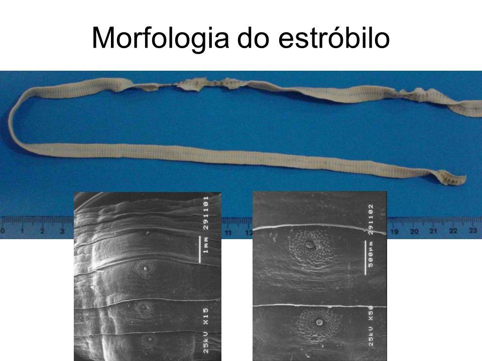 Morfologia do estróbilo