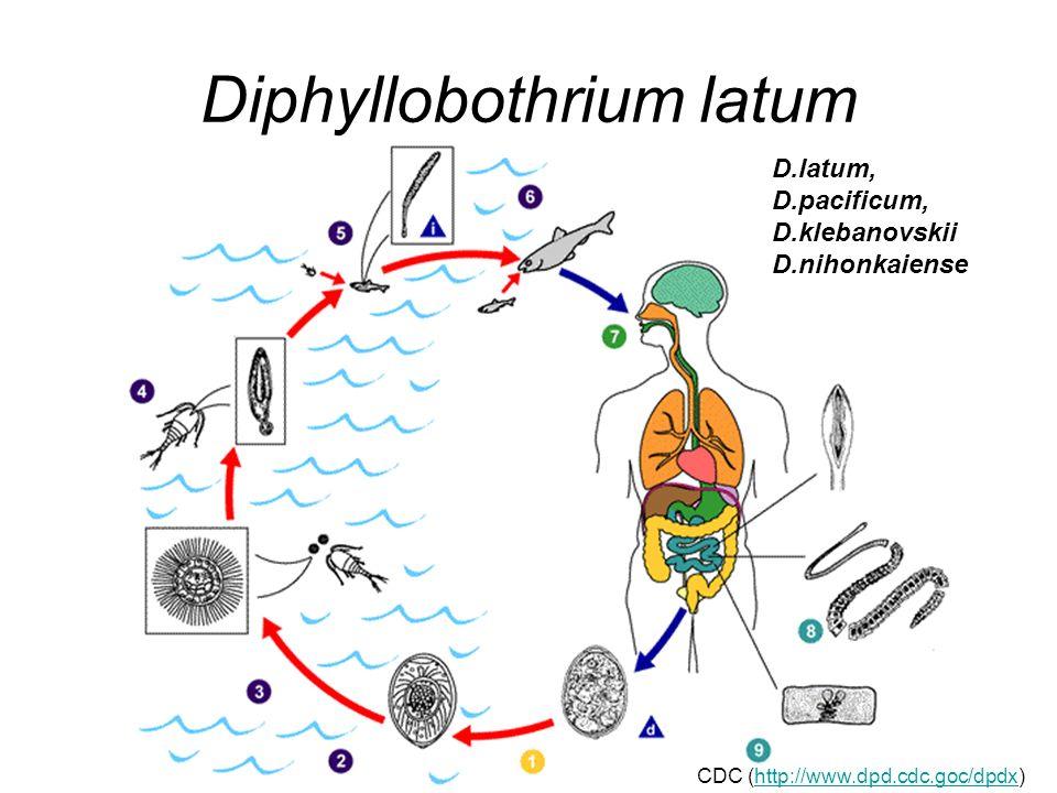 Diphyllobothrium latum D.latum, D.pacificum, D.klebanovskii D.nihonkaiense CDC (http://www.dpd.cdc.goc/dpdx)http://www.dpd.cdc.goc/dpdx