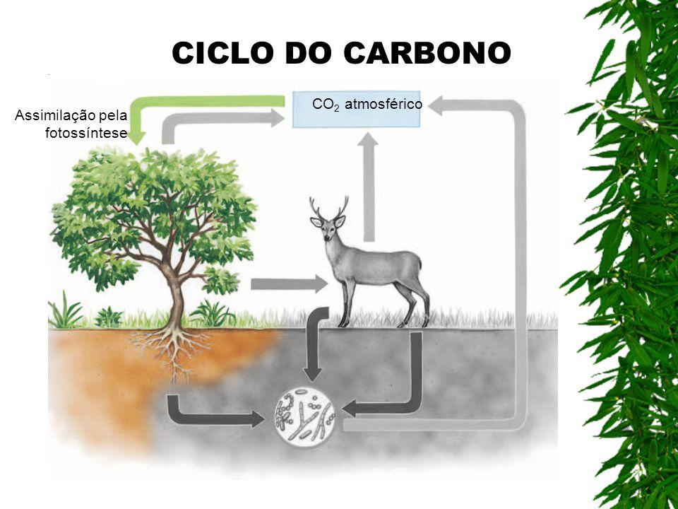 CO 2 atmosférico Assimilação pela fotossíntese CICLO DO CARBONO