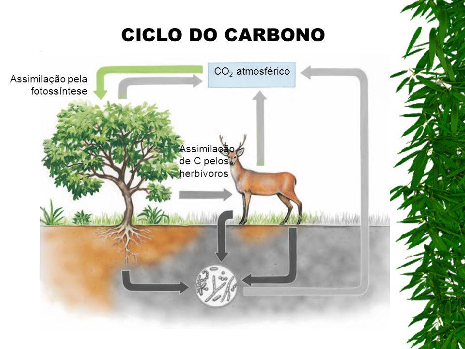 CO 2 atmosférico Assimilação pela fotossíntese Assimilação de C pelos herbívoros CICLO DO CARBONO