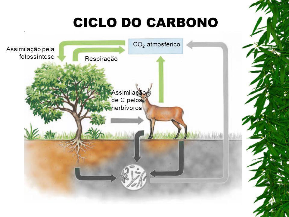 CO 2 atmosférico Assimilação pela fotossíntese Respiração Assimilação de C pelos herbívoros CICLO DO CARBONO