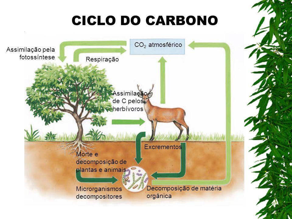 Excrementos Microrganismos decompositores Decomposição de matéria orgânica Assimilação pela fotossíntese Respiração Assimilação de C pelos herbívoros