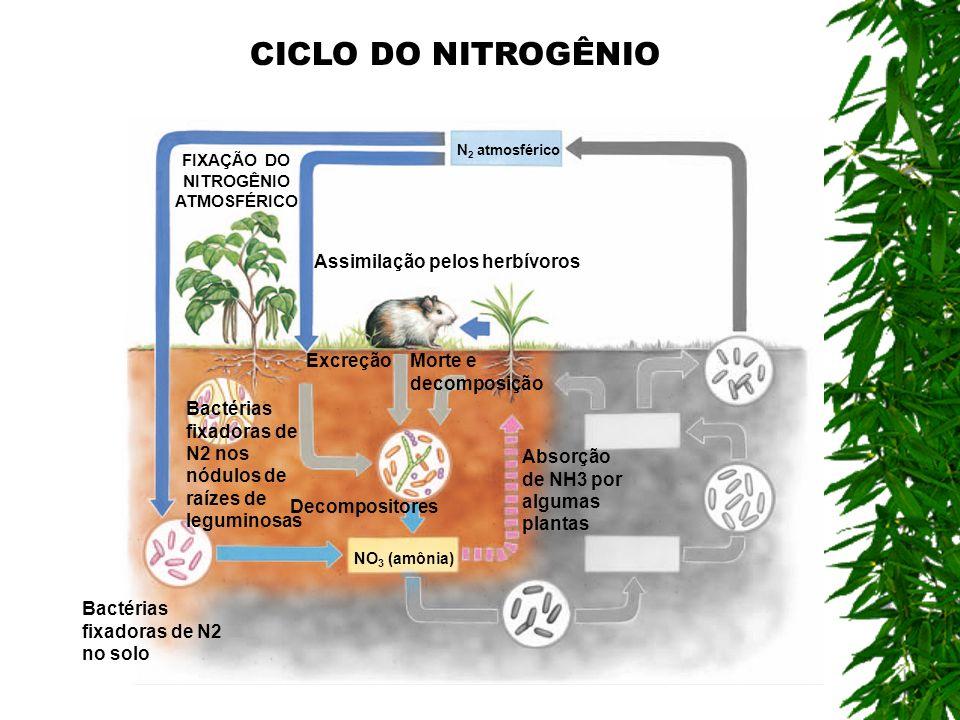 FIXAÇÃO DO NITROGÊNIO ATMOSFÉRICO Bactérias fixadoras de N2 nos nódulos de raízes de leguminosas Bactérias fixadoras de N2 no solo NO 3 (amônia) Absor