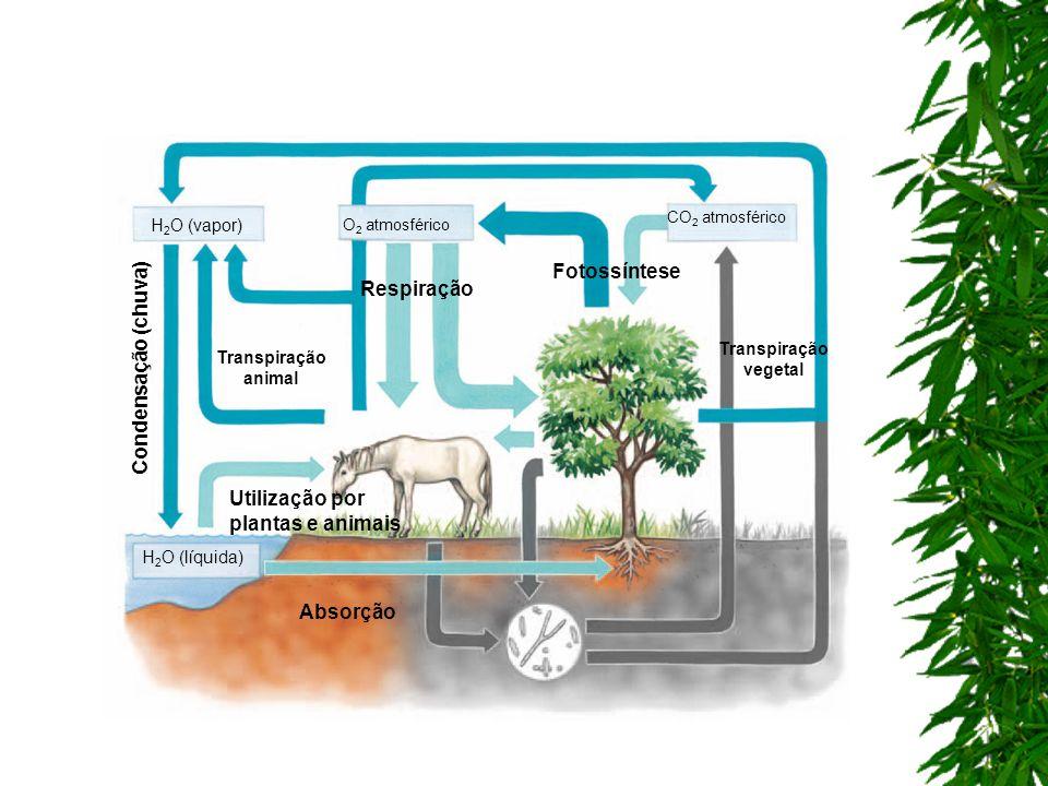 Respiração H 2 O (vapor) Transpiração vegetal Transpiração animal Fotossíntese H 2 O (líquida) Absorção Utilização por plantas e animais Condensação (