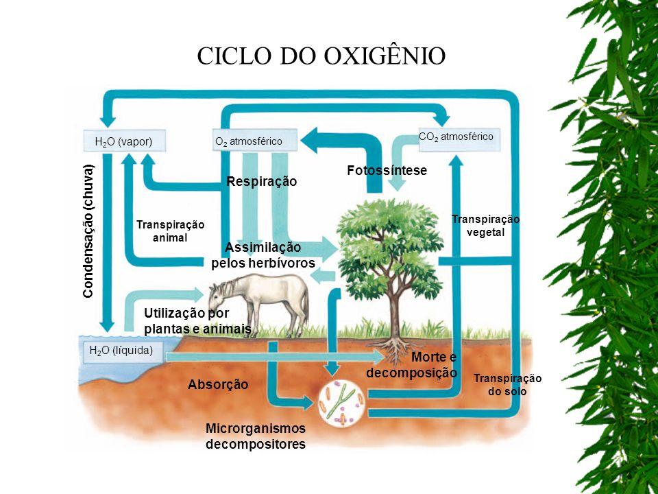 Assimilação pelos herbívoros Microrganismos decompositores Transpiração do solo Absorção H 2 O (líquida) Utilização por plantas e animais H 2 O (vapor