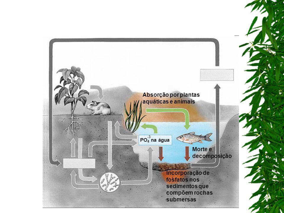 Absorção por plantas aquáticas e animais Incorporação de fosfatos nos sedimentos que compõem rochas submersas Morte e decomposição PO 4 na água -3-3