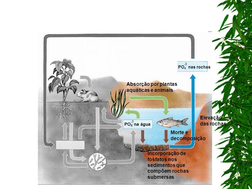Incorporação de fosfatos nos sedimentos que compõem rochas submersas Absorção por plantas aquáticas e animais Morte e decomposição Elevação das rochas