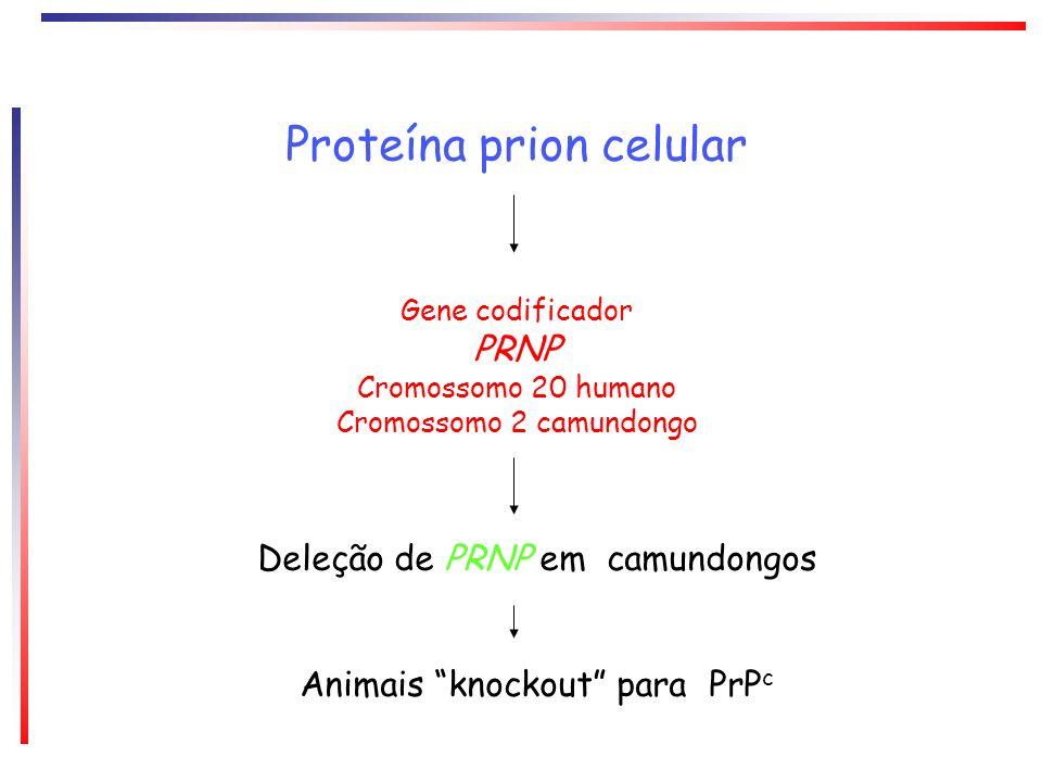 Proteína prion celular Gene codificador PRNP Cromossomo 20 humano Cromossomo 2 camundongo Deleção de PRNP em camundongos Animais knockout para PrP c