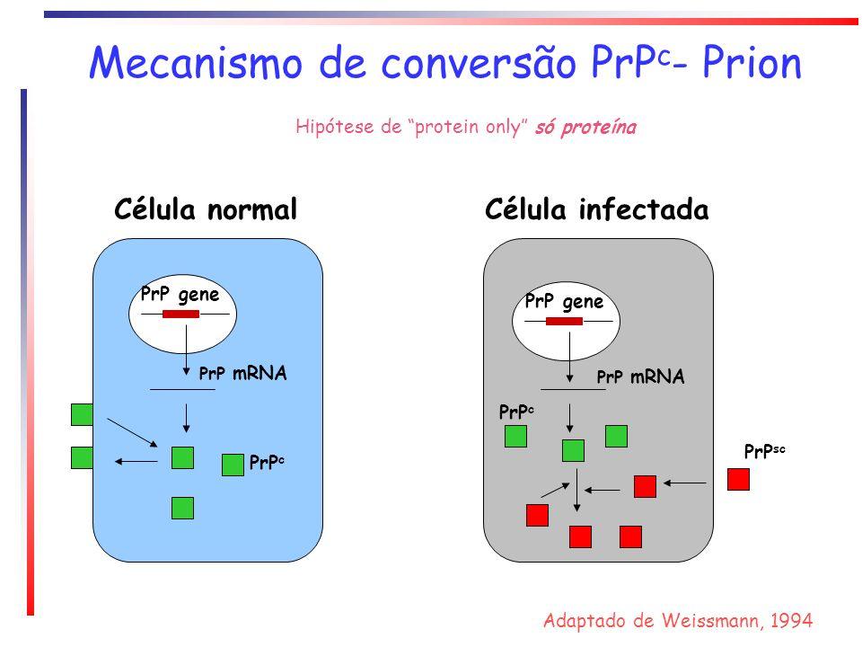 Mecanismo de conversão PrP c - Prion PrP gene PrP mRNA PrP c Célula normal PrP gene PrP c PrP sc PrP mRNA Célula infectada Adaptado de Weissmann, 1994