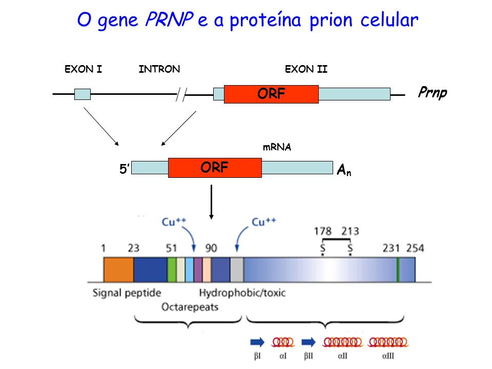 ORF EXON IINTRONEXON II ORF mRNA 5 AnAn Prnp O gene PRNP e a proteína prion celular