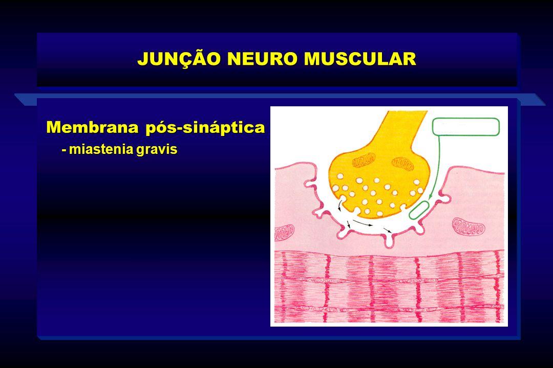 Membrana pós-sináptica - miastenia gravis - miastenia gravis JUNÇÃO NEURO MUSCULAR