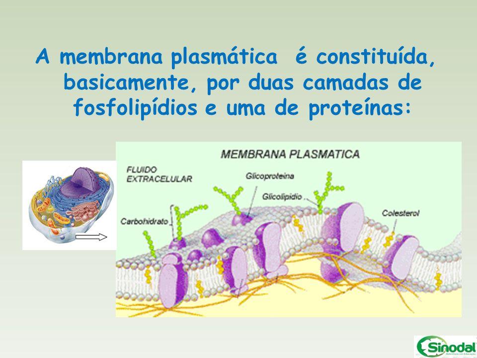 A membrana plasmática é constituída, basicamente, por duas camadas de fosfolipídios e uma de proteínas: