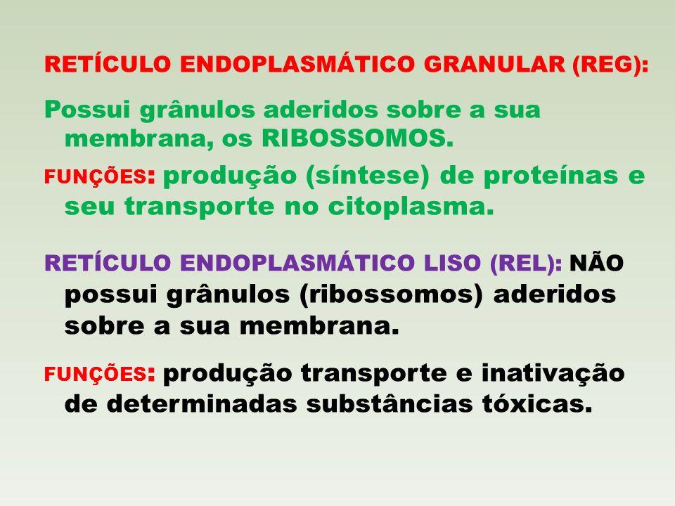 RETÍCULO ENDOPLASMÁTICO GRANULAR (REG): Possui grânulos aderidos sobre a sua membrana, os RIBOSSOMOS. FUNÇÕES : produção (síntese) de proteínas e seu
