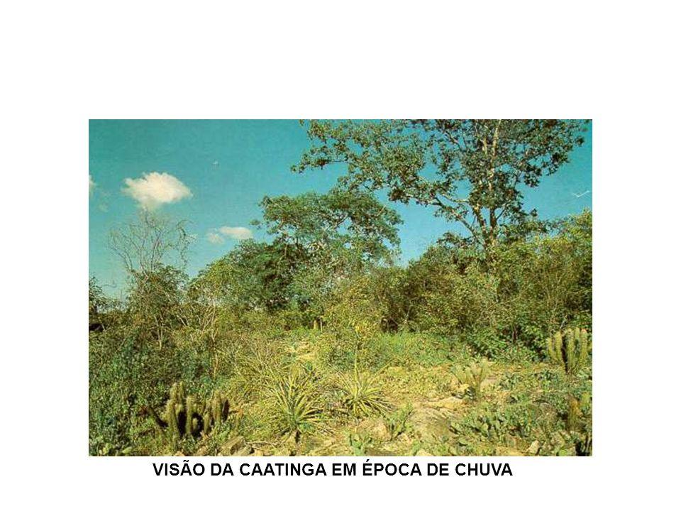VISÃO DA CAATINGA EM ÉPOCA DE CHUVA