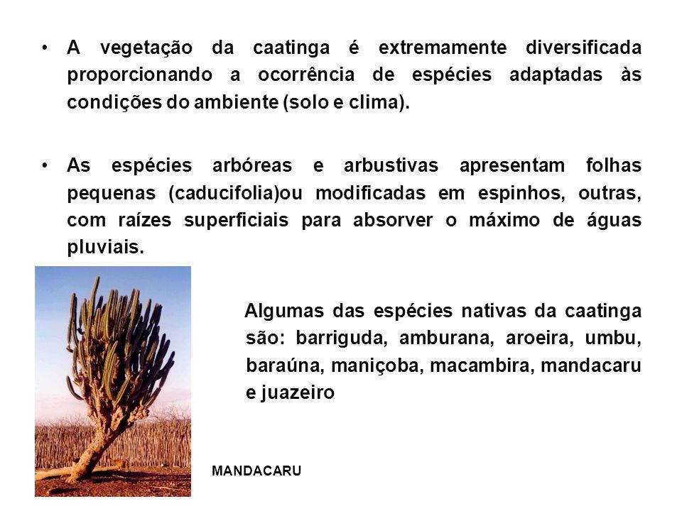 A vegetação da caatinga é extremamente diversificada proporcionando a ocorrência de espécies adaptadas às condições do ambiente (solo e clima).