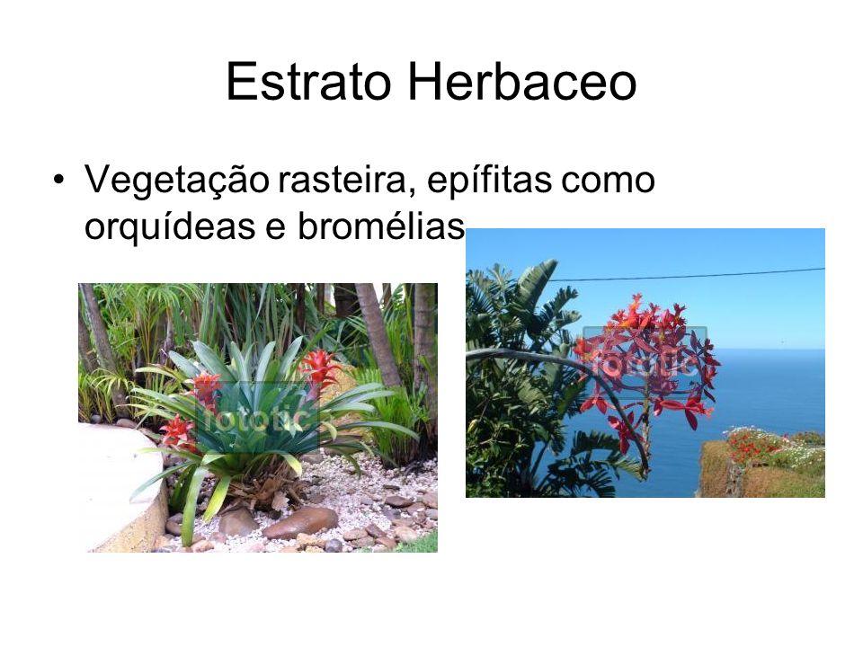 Estrato Herbaceo Vegetação rasteira, epífitas como orquídeas e bromélias