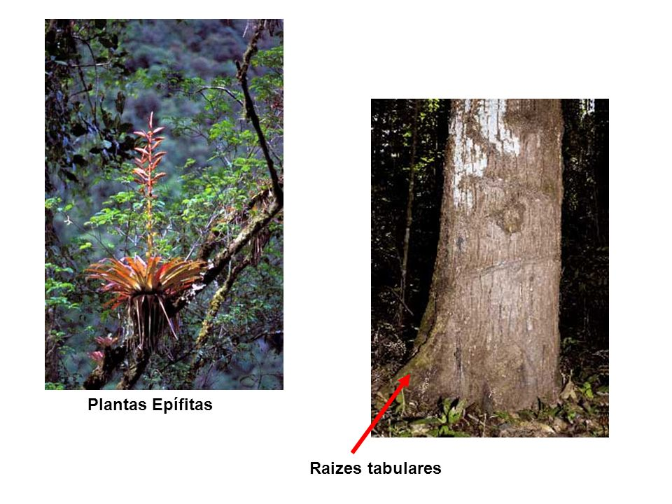 Raizes tabulares Plantas Epífitas