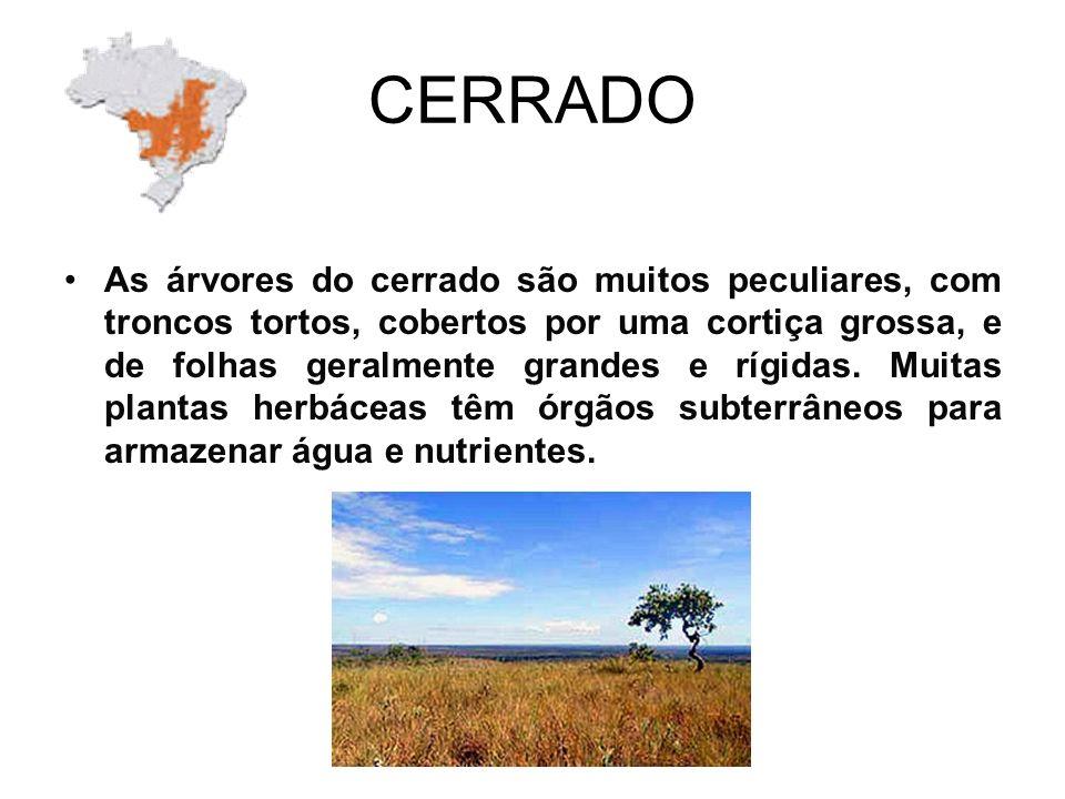 CERRADO As árvores do cerrado são muitos peculiares, com troncos tortos, cobertos por uma cortiça grossa, e de folhas geralmente grandes e rígidas.