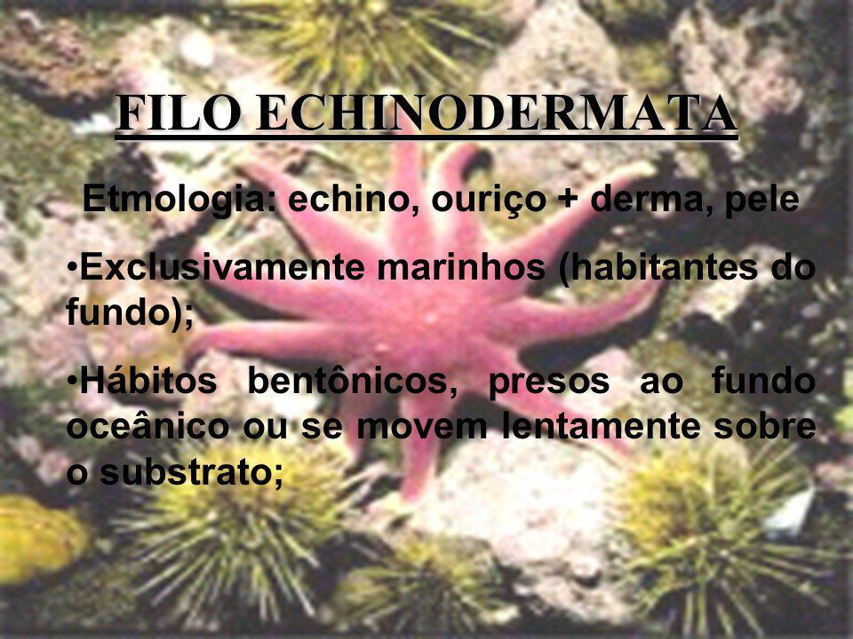 FILO ECHINODERMATA Etmologia: echino, ouriço + derma, pele Exclusivamente marinhos (habitantes do fundo); Hábitos bentônicos, presos ao fundo oceânico