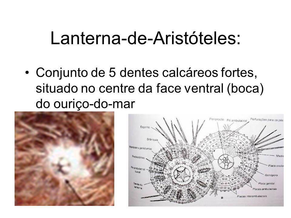 Lanterna-de-Aristóteles: Conjunto de 5 dentes calcáreos fortes, situado no centre da face ventral (boca) do ouriço-do-mar