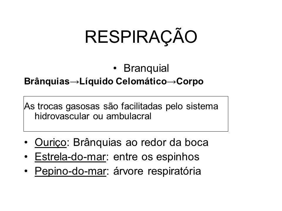 RESPIRAÇÃO Branquial BrânquiasLíquido CelomáticoCorpo As trocas gasosas são facilitadas pelo sistema hidrovascular ou ambulacral Ouriço: Brânquias ao