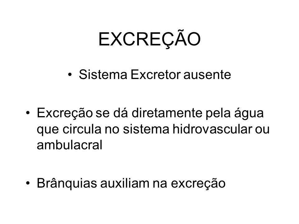 EXCREÇÃO Sistema Excretor ausente Excreção se dá diretamente pela água que circula no sistema hidrovascular ou ambulacral Brânquias auxiliam na excreç