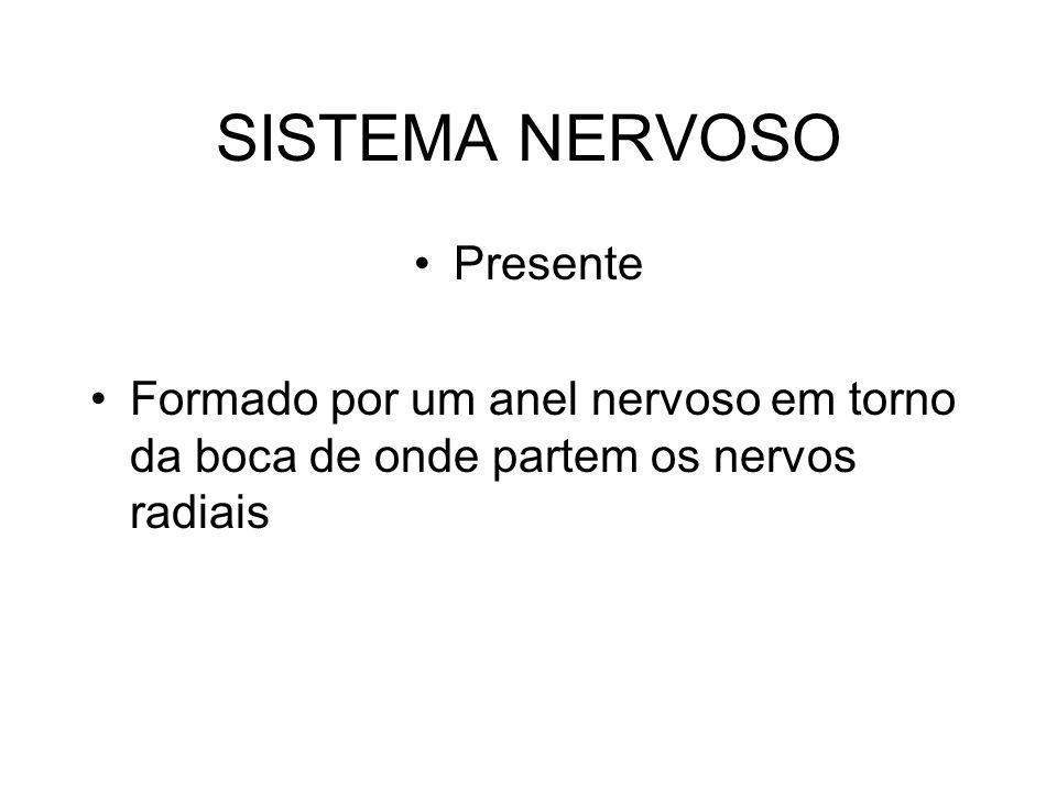 SISTEMA NERVOSO Presente Formado por um anel nervoso em torno da boca de onde partem os nervos radiais