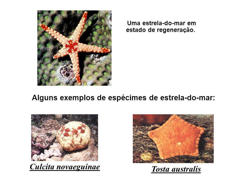 Uma estrela-do-mar em estado de regeneração. Culcita novaeguinae Tosta australis Alguns exemplos de espécimes de estrela-do-mar: