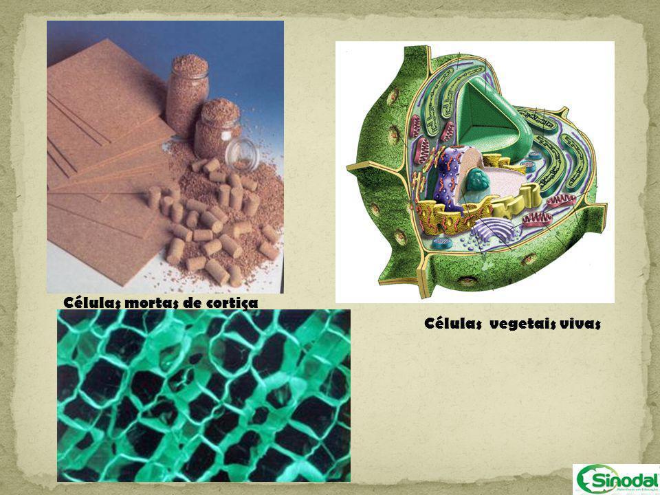É formado de bolsas membranosas e achatadas, empilhadas umas sobre as outras.