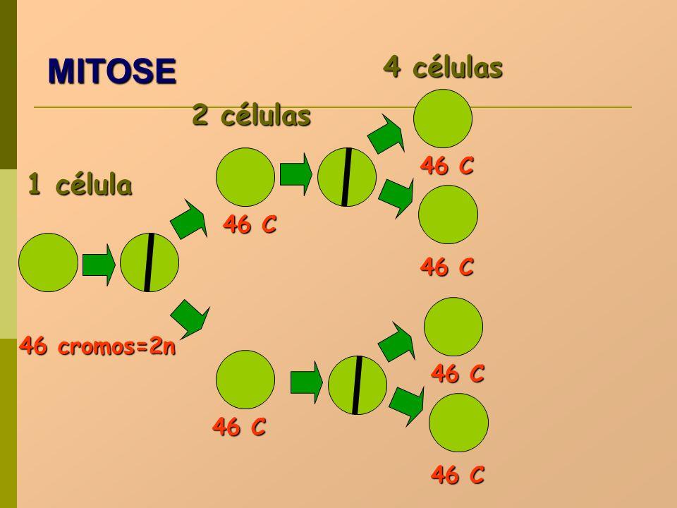 1 célula 2 células 4 células 46 cromos=2n 46 C MITOSE