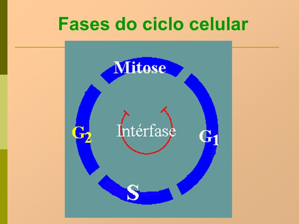 Fases do ciclo celular