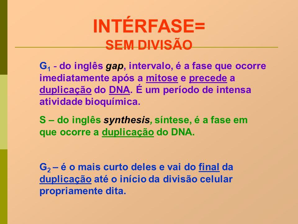 S – do inglês synthesis, síntese, é a fase em que ocorre a duplicação do DNA. G 2 – é o mais curto deles e vai do final da duplicação até o início da