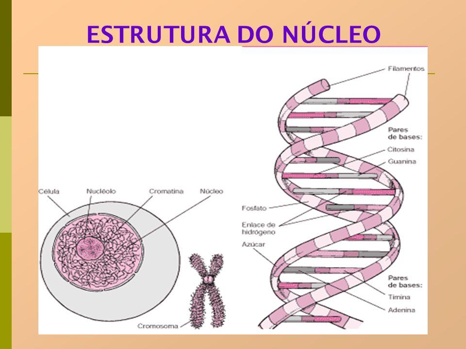 NÚCLEO=CROMOSSOMOS= DNA