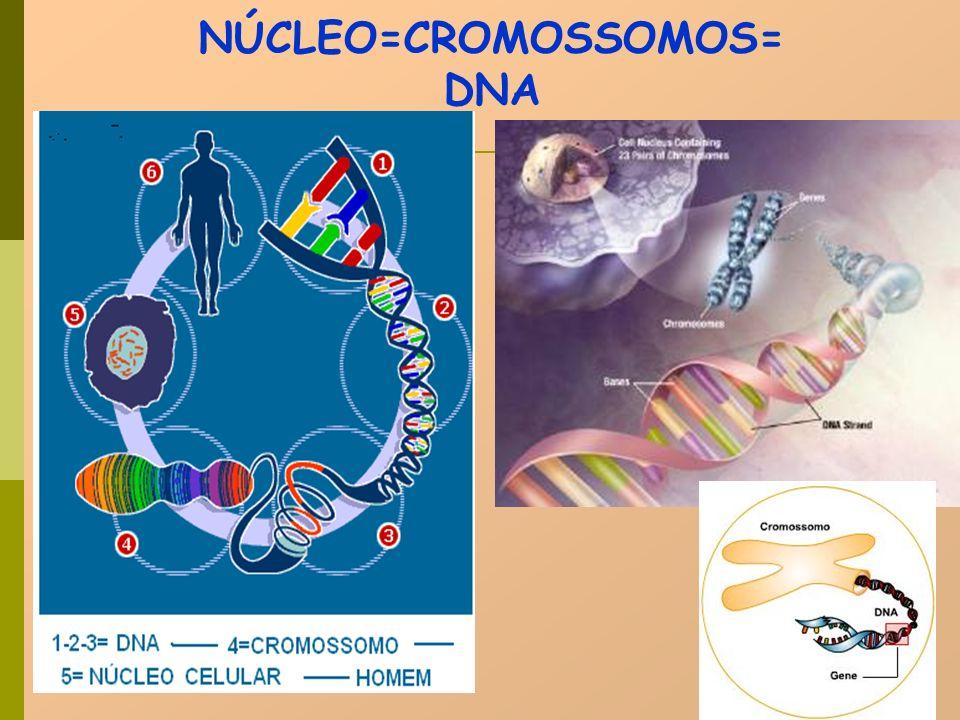 1 célula 4 células 46 cromossomos = 2n 2n 23 cromossomos = n MEIOSE