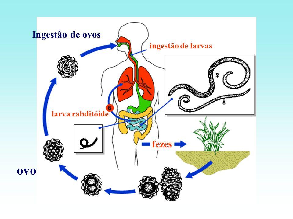 ovo fezes Ingestão de ovos larva rabditóide ingestão de larvas