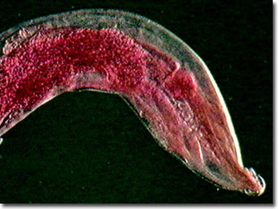 ovo Ingestão de ovo Enterobius vermicularis