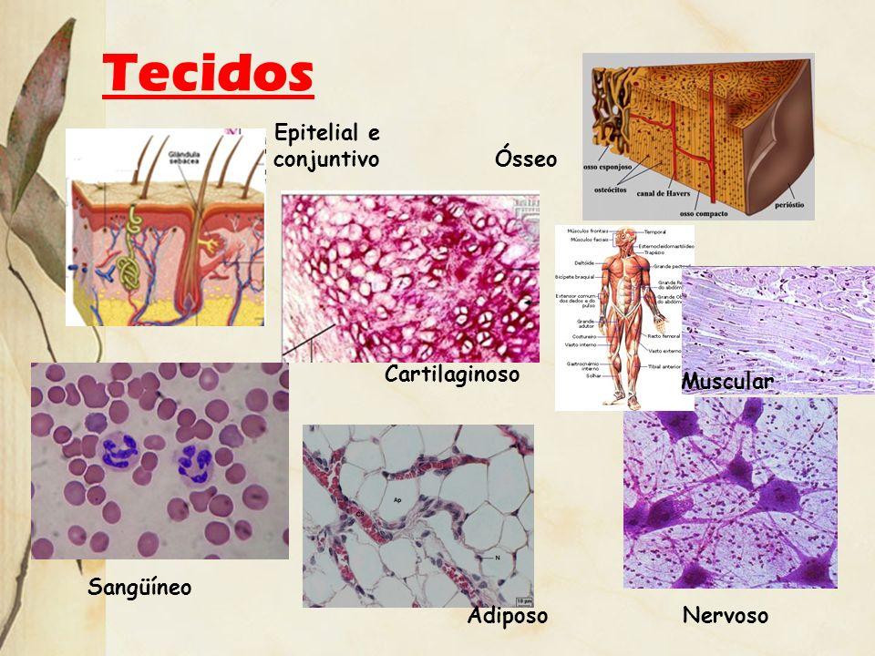 Tecidos Epitelial e conjuntivo Ósseo Cartilaginoso Sangüíneo Adiposo Nervoso Muscular