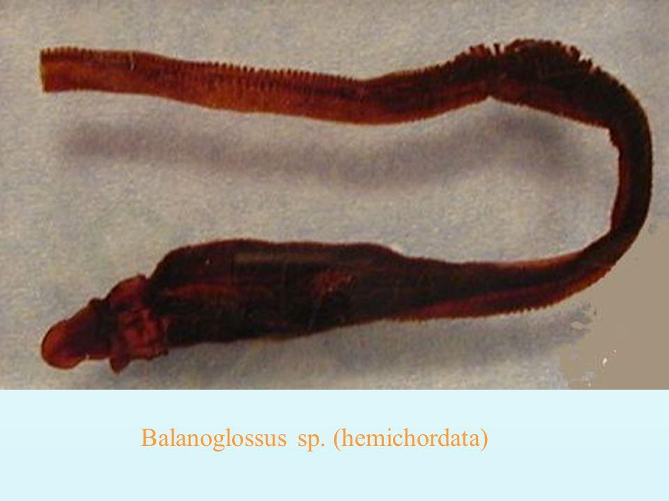 SISTEMA EXCRETOR Rins pronefros fase embrionária Rins mesonefros adultos Amônia larvas Uréia adultos