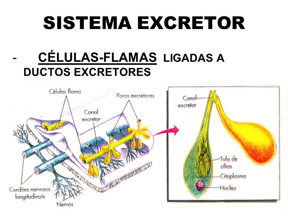 SISTEMA EXCRETOR - CÉLULAS-FLAMAS LIGADAS A DUCTOS EXCRETORES