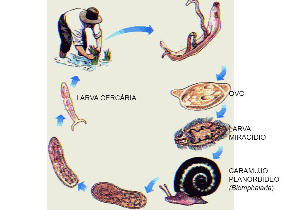 OVO LARVA MIRACÍDIO CARAMUJO PLANORBÍDEO (Biomphalaria) LARVA CERCÁRIA
