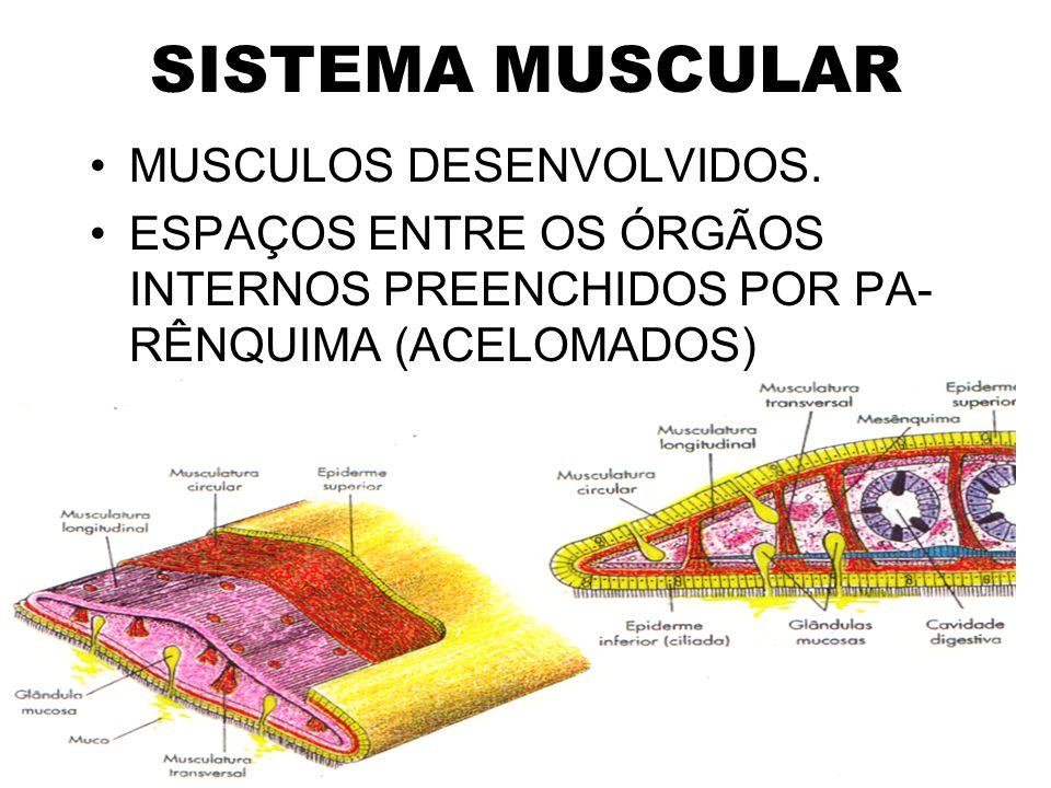 SISTEMA MUSCULAR MUSCULOS DESENVOLVIDOS. ESPAÇOS ENTRE OS ÓRGÃOS INTERNOS PREENCHIDOS POR PA- RÊNQUIMA (ACELOMADOS)