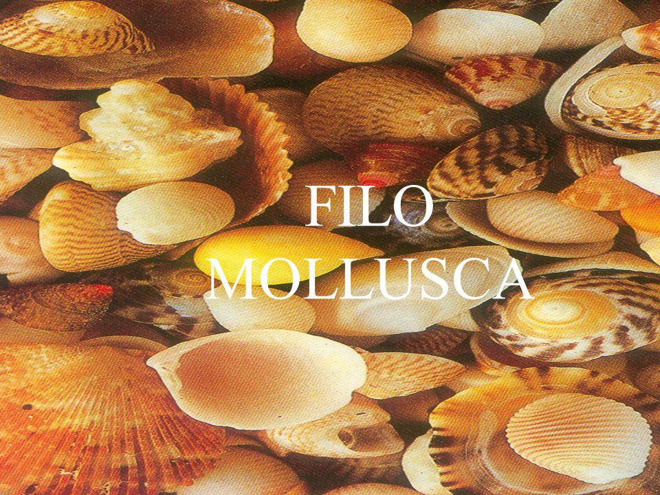 MOLLUSCA FILO MOLLUSCA