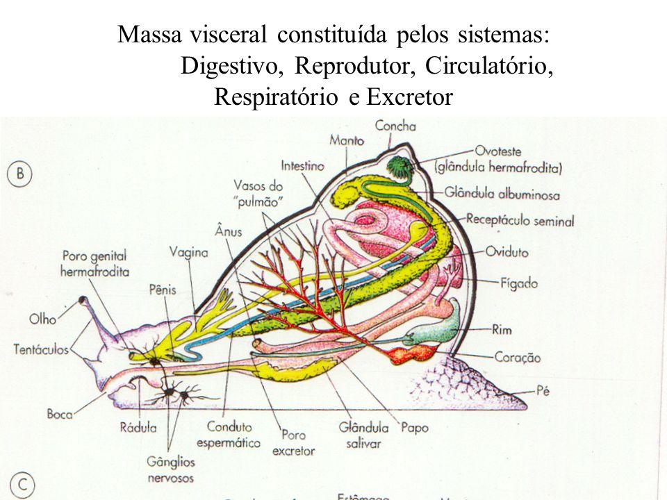 Massa visceral constituída pelos sistemas: Digestivo, Reprodutor, Circulatório, Respiratório e Excretor