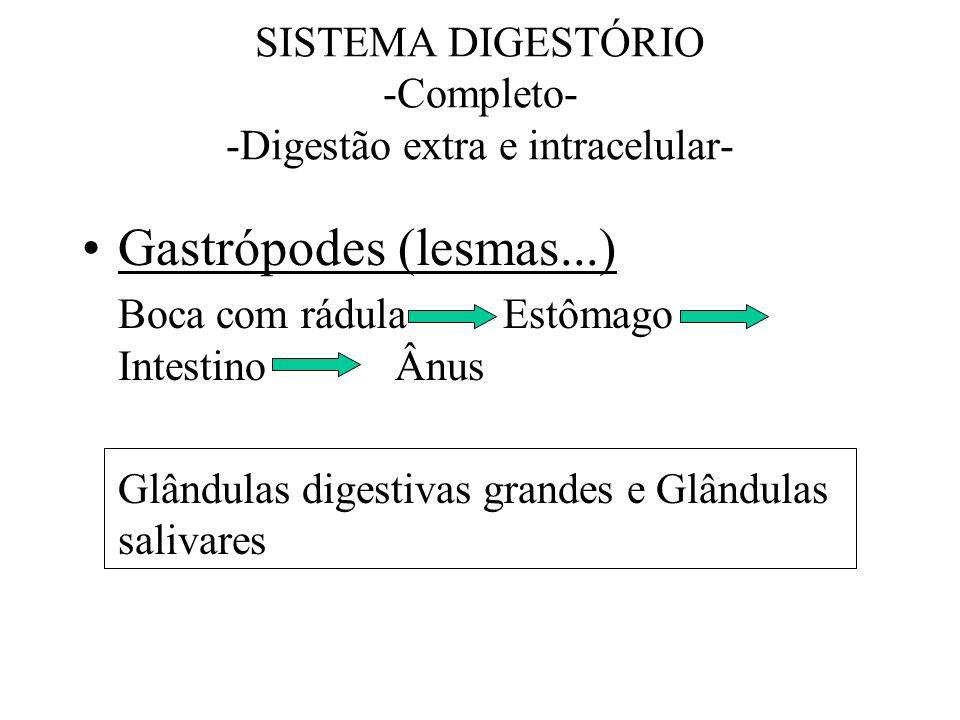 SISTEMA DIGESTÓRIO -Completo- -Digestão extra e intracelular- Gastrópodes (lesmas...) Boca com rádula Estômago Intestino Ânus Glândulas digestivas gra